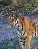 bengal tygrys królewski Fotografia Stock