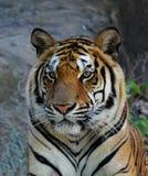 bengal tygrys królewski Zdjęcie Stock