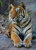 bengal tygrys królewski Obraz Stock