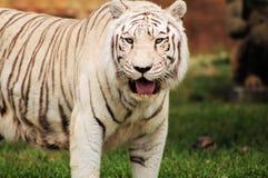 bengal tygrysa biel Zdjęcie Royalty Free