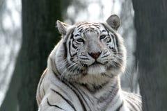 bengal tygrysa biel Fotografia Royalty Free