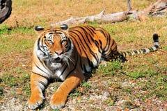 bengal tygrysa zoo zdjęcia stock