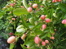 Bengal-vinbär träd eller Carandas-plommon fotografering för bildbyråer