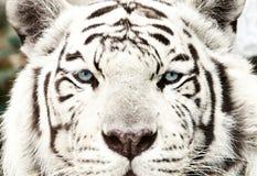 Bengal vita Tiger Close Up Panthera tigris tigris royaltyfri bild