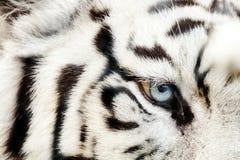 Bengal vita Tiger Close Up Panthera tigris tigris royaltyfri fotografi