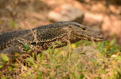 Bengal water monitor lizard. Sundarban tiger reserve Stock Photo