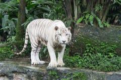 Bengal-Weiß-Tiger Stockfotos