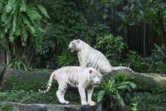 Bengal-Weiß-Tiger Lizenzfreie Stockfotos