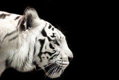 Bengal-Weißtiger Stockfotografie