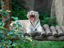Bengal white Tiger 2 Stock Image