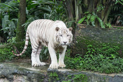 Bengal White Tiger. In Singapore zoological garden Stock Photos