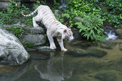 Bengal White Tiger. In Singapore zoological garden entering into water Royalty Free Stock Photography