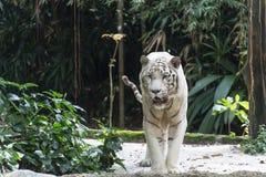 Free Bengal White Tiger Stock Image - 27918601