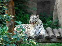 Bengal white Tiger 5 Royalty Free Stock Image