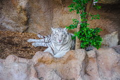 Bengal white tiger in Loro Parque, Tenerife, Canary Islands. Royalty Free Stock Photo