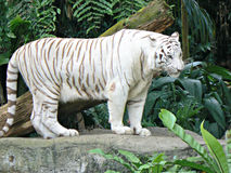 Bengal white tiger. A Bengal white tiger (Panthera tigris tigris) standing in an open enclosure in the Mandai Zoo, Singapore Stock Image