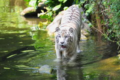 Bengal white tiger in the river Stock Image