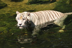 Bengal white tiger in the river Royalty Free Stock Images