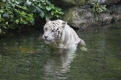 Bengala blanca Tiger Wading en agua imagen de archivo