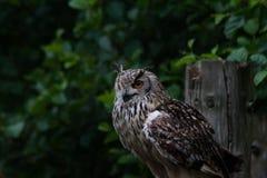 Bengala Eagle Owl imagenes de archivo