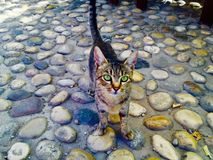 Bengala perdida adorable Cat With Beautiful Green Eyes Foto de archivo libre de regalías