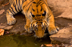 Bengala real tiger#5 Fotos de archivo