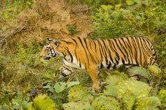 Bengala salvaje Tiger Walking a través de la selva abierta imagen de archivo