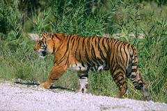 Bengala tiger outdoor portrait walking Royalty Free Stock Image
