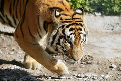 Bengala tiger outdoor portrait walking Stock Photography