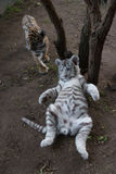 Bengala y cachorros de tigre blancos en el parque zoológico imágenes de archivo libres de regalías