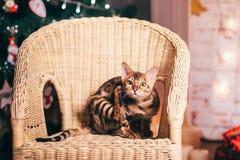 Bengalcat kitten brown spotted. Bengal Stock Photos