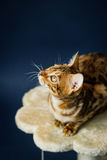 Bengalcat kitten brown spotted. Bengal Royalty Free Stock Photography