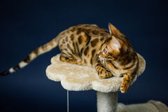 Bengalcat kitten brown spotted. Bengal Stock Photo