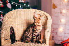 Bengalcat kitten brown spotted. Bengal Royalty Free Stock Photo