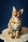 Bengalcat kitten brown spotted. Bengal Royalty Free Stock Photos