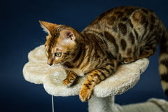 Bengalcat kitten brown spotted. Bengal Stock Image