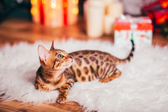 Bengalcat kitten brown spotted. Bengal Royalty Free Stock Image