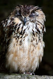 Bengale Eagle Owl Stock Photos