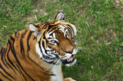 Bengale tiger. How sweet you look! Bengale tiger royalty free stock photography