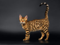 Bengalen Cat Curious Looking in camera op Zwarte stock fotografie