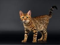 Bengalen Cat Curious Looking in camera op Zwarte stock foto's