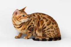 Bengalen Cat Looking Back op Wit royalty-vrije stock foto's