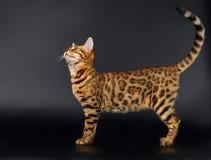 Bengalen Cat Looking omhoog op Zwarte achtergrond royalty-vrije stock fotografie
