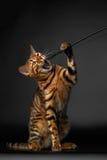 Bengalen Cat Raising Up Paw met geopende mond royalty-vrije stock fotografie