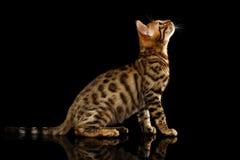 Bengalen Cat Sits op Zwarte Stock Foto