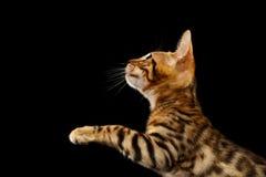 Bengalen Kitty Stands en het Opheffen op Poten op Zwarte royalty-vrije stock foto