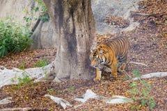 Bengalen Tiger Stalking Prey Royalty-vrije Stock Afbeeldingen