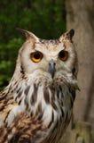 Bengalensis de Bengal Eagle Owl Bubo Fotografia de Stock