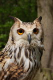 Bengalensis du Bengale Eagle Owl Bubo photographie stock
