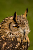 Bengalese Eagle Owl Stock Image